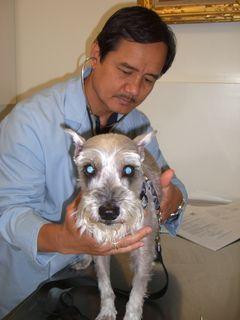 Miniature Schnauzer at veterinarian